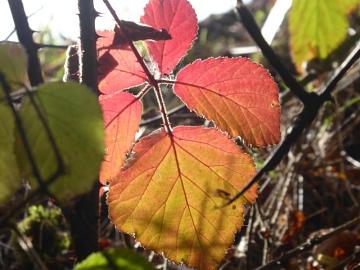 Blattfärbung im Herbst©LFV Stolzenau