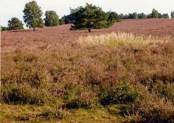 Blick über die blühende Heide©LFV Stolzenau
