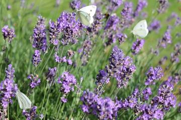 Lavendel©Elke Märtens