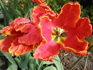 Tulpe im Frühling©LFV Stolzenau